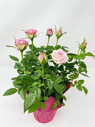 """Pot Rose 🌹 02 (4"""")"""