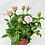 "Thumbnail: Pot Rose 🌹 02 (4"")"