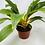 "Thumbnail: Orange Spider Plant (6"" pot)"
