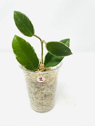 Hoya carnosa tricolor 2
