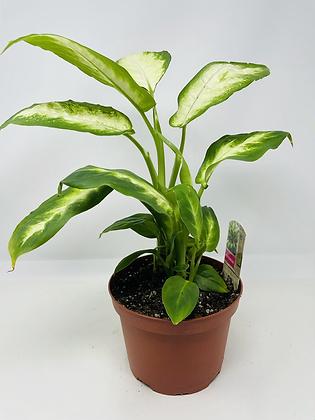 """Dieffenbachia (6"""" pot)"""