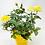 "Thumbnail: Pot Rose 🌹 03 (4"")"