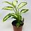 """Thumbnail: Dieffenbachia (6"""" pot)"""