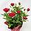"Thumbnail: Pot Rose 🌹 01 (4"")"