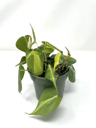 Philodendron Brasil 2