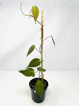 Philodendron Micans 4