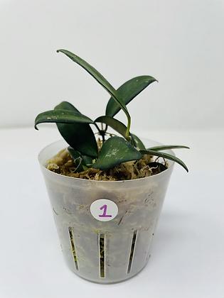 Hoya Rosita 1