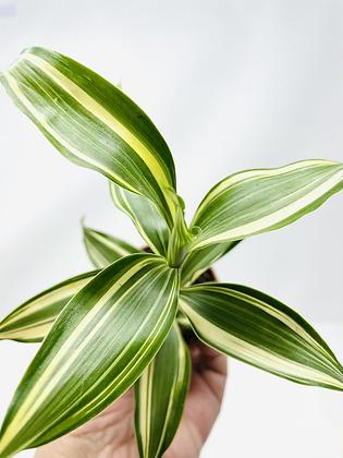 "Ribbon Plant - White (2.25"" small pot)"
