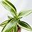 """Thumbnail: Ribbon Plant - White (2.25"""" small pot)"""