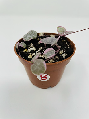 Variegated String of Hearts (B)