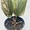 Thumbnail: Syngonium Erythrophyllum 1