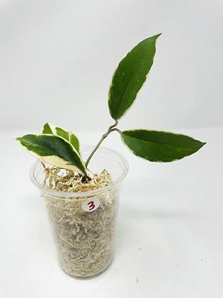 Hoya carnosa tricolor 3