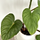 Thumbnail: Philodendron Mamei