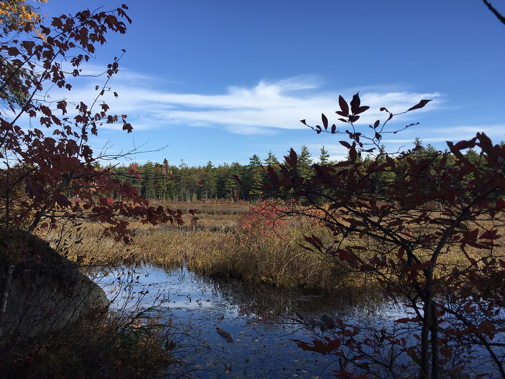Marsh during fall with water, reeds, and forest with a blue sky in the background