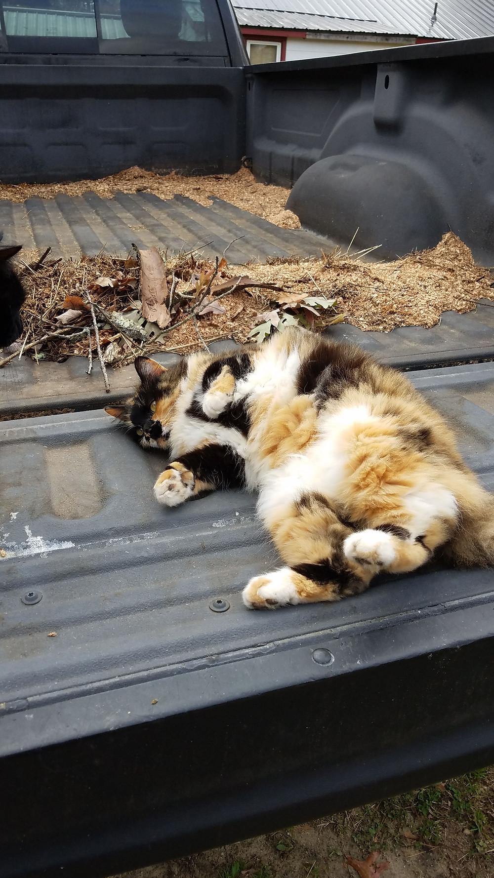 Cat in a truck