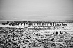 Camel-caravan-carrying-salt-plates-1