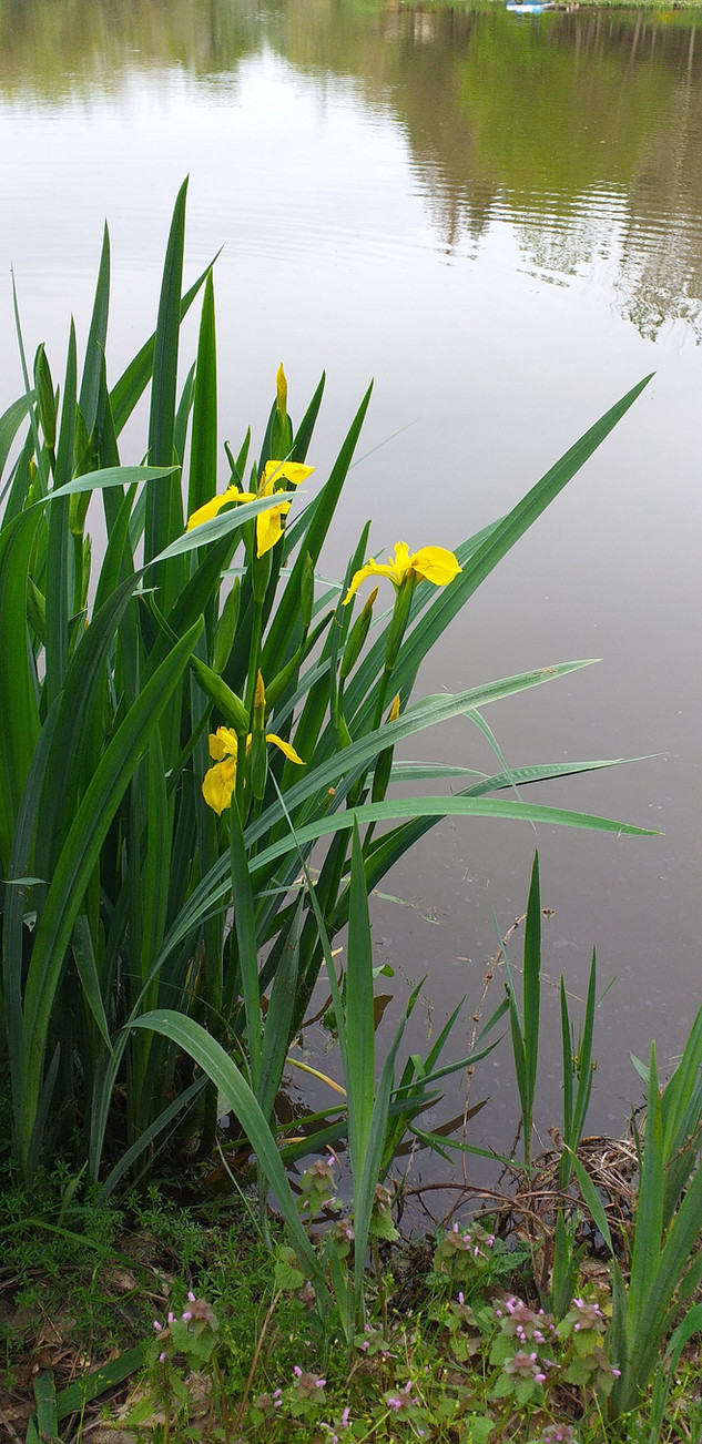 Iris d'étang