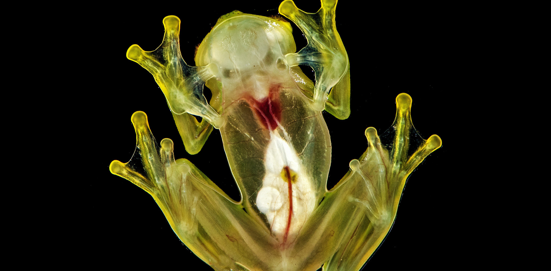 Mashpi-Lodge-Glass-Frog-1.jpg