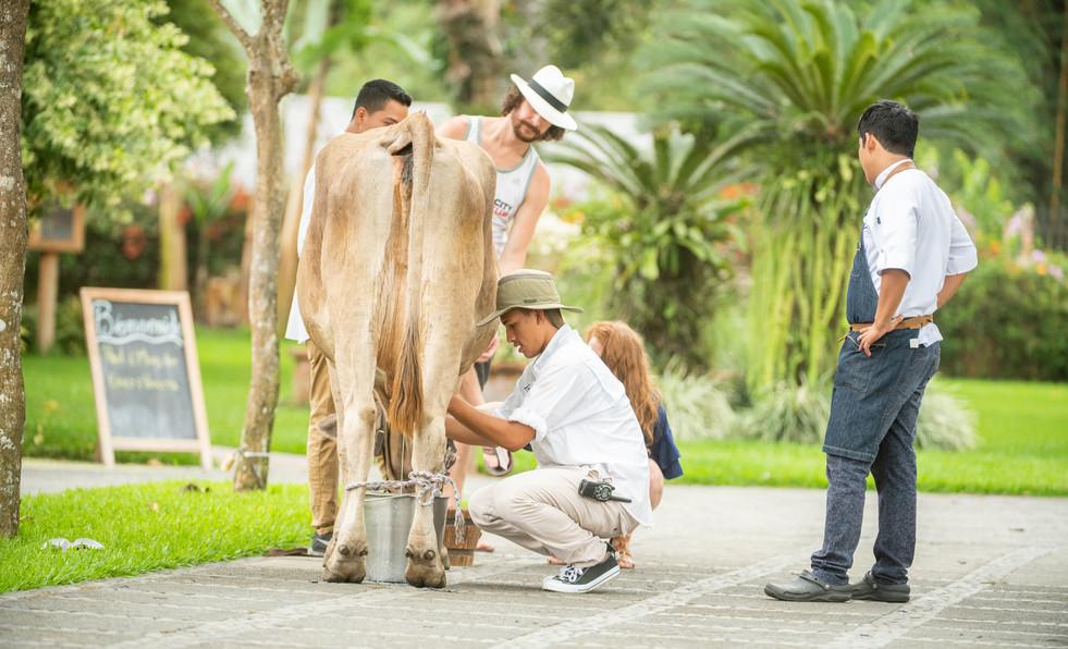Ordeñando la vaca | La Danesa