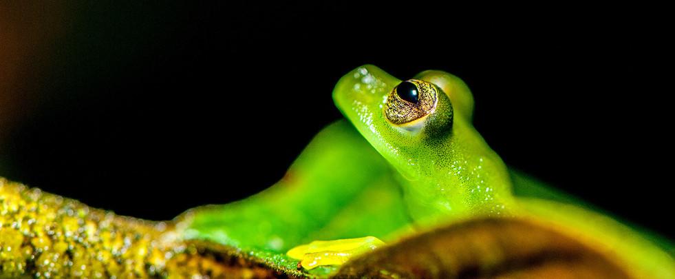 emerald-glass-frog.jpg