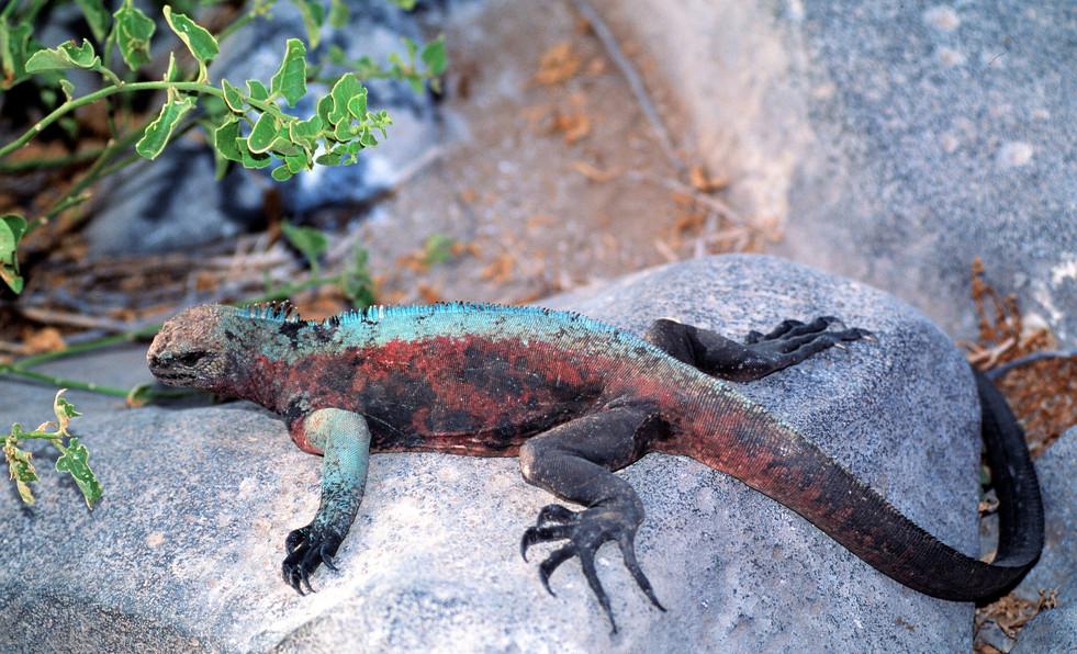 Marine iguana - Albemarle Point.jpg