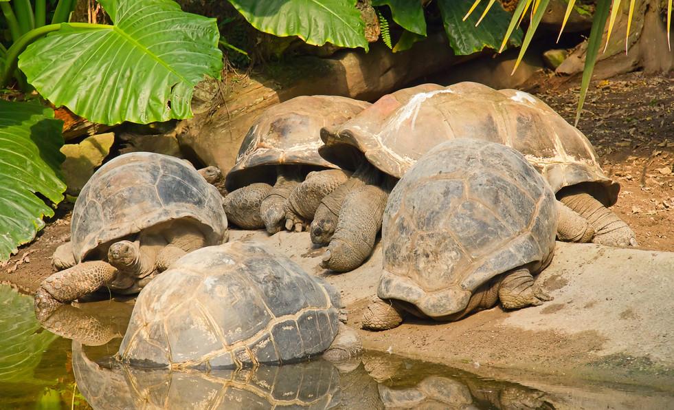 Giant tortoises - Isabela Breeding Cente