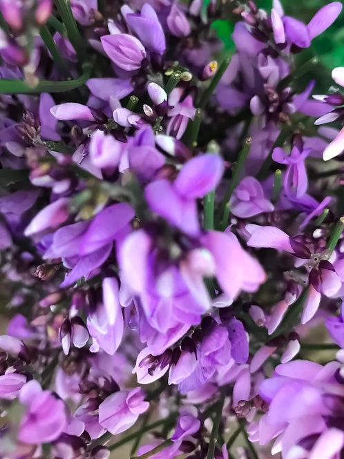 Гениста Фиолетовая