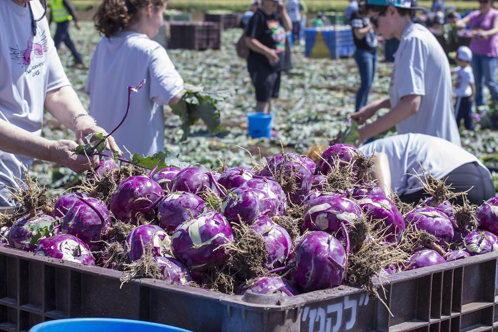 A large bin of purple cabbage in a field picked by Leket volunteers