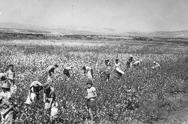 People picking cotton on Kibbutz Shamir