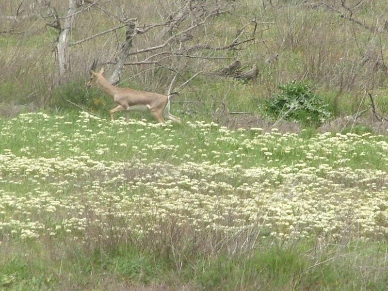 A deer in the Gazelle Valley in Jerusalem