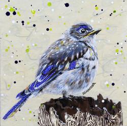 Young Mountain Bluebird