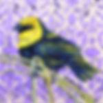 Yellowhead Blackbird_2_edited.jpg
