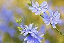 fleur de bach 5.jpg