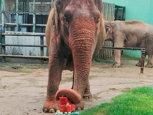 Elefante Alica do ZOO Pomerode completa 61 anos