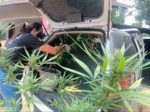 Polícia encontra plantação de maconha em Timbó