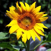 Sunflower-2_edited.jpg