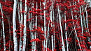 The Red Forest