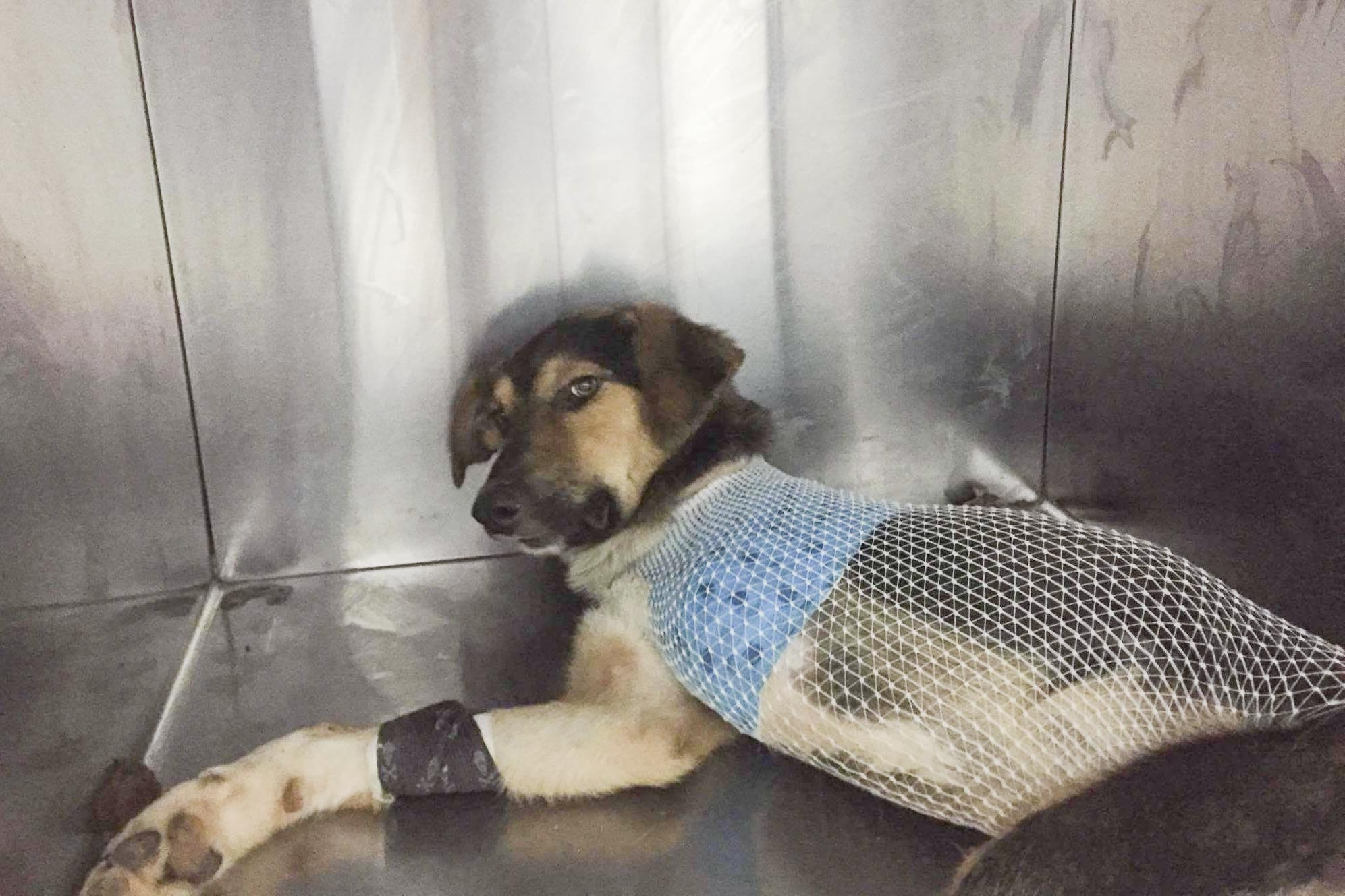 Trooper after surgery, July 17, 2017