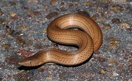 Time For Another Species Profile - Burton's Legless Lizard