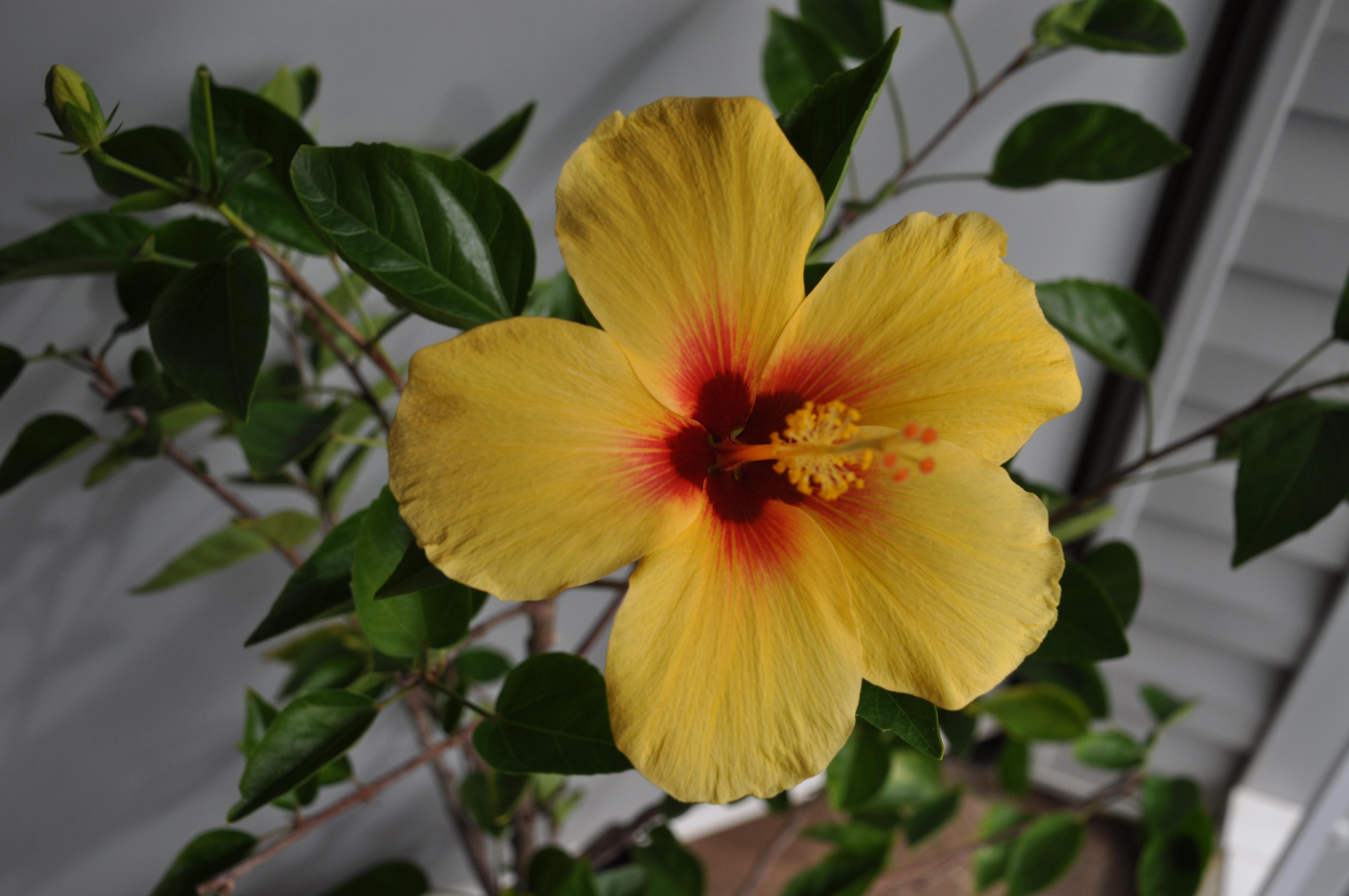 Lanai yellow hibiscus