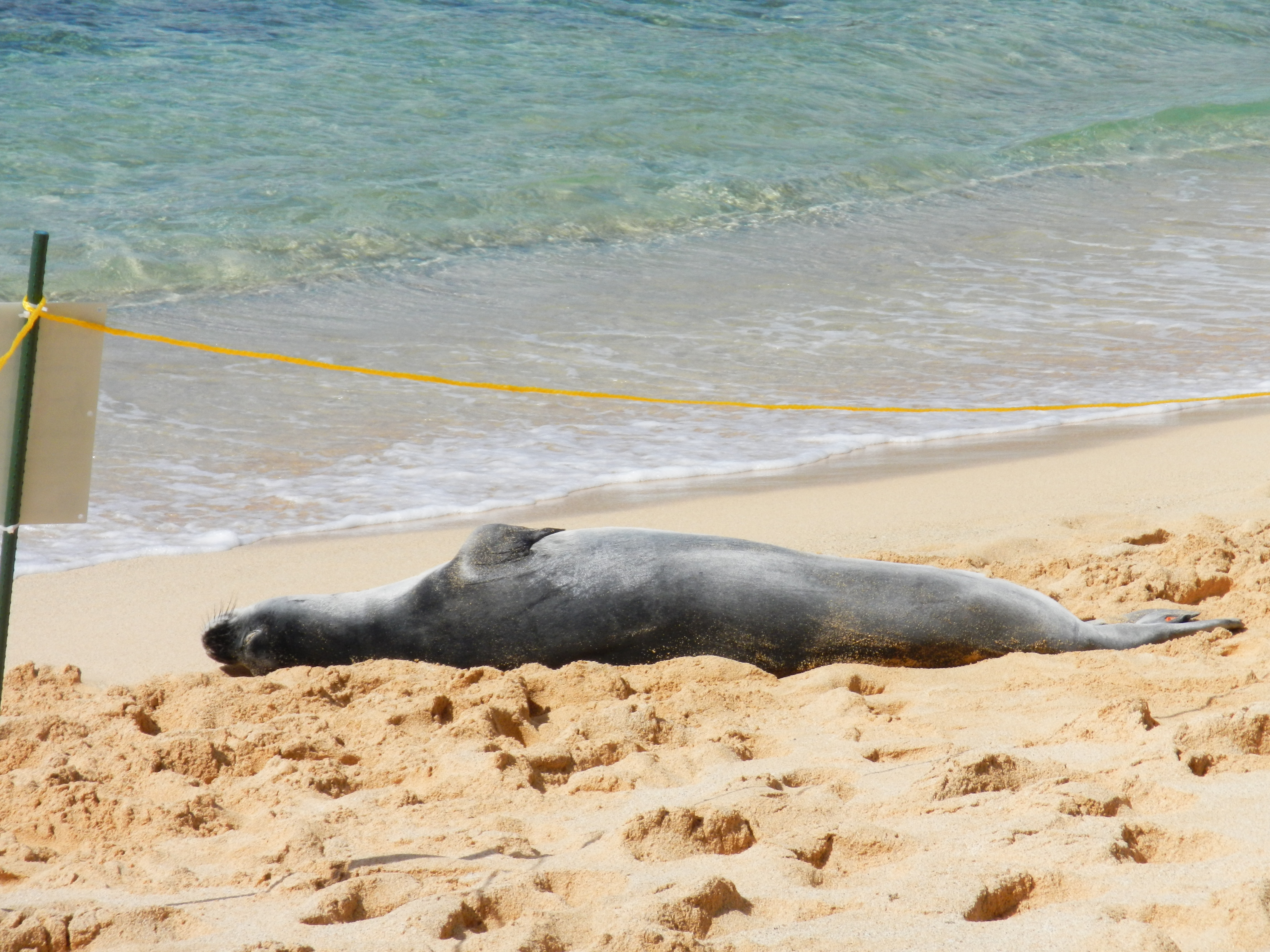 Monk seal resting at Tunnels