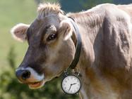 Столетняя «битва» за летне-зимний час и причём тут коровы