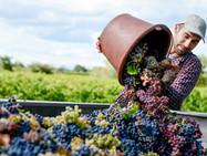 Непогода ‒ виновница скудного урожая винограда в этом году