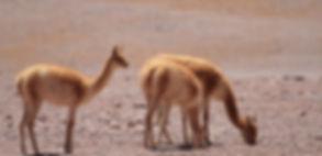 San pedro de atacama, tours, Agencia, flamingo travel agency