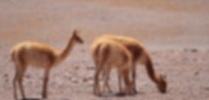 flamingo travel agency, Salar de Tara
