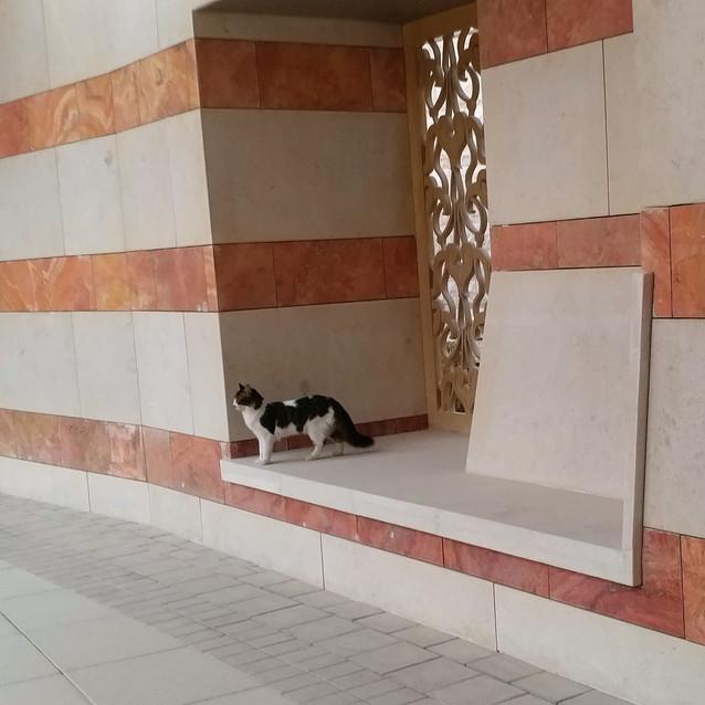 Shamali cats