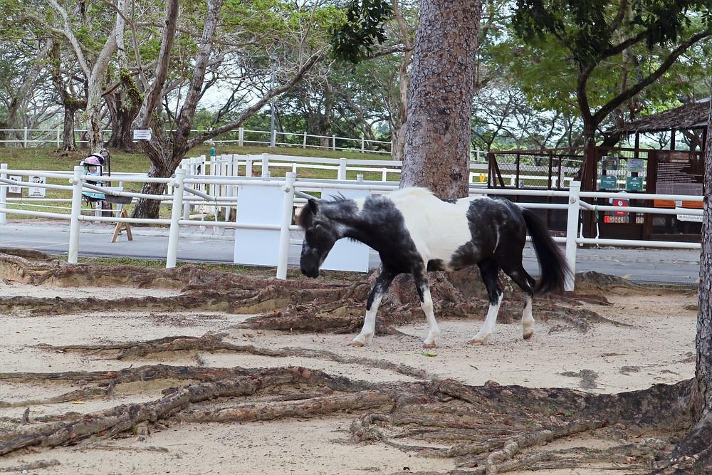 Horse for riding at Gallop Stable at Pasir Ris Park