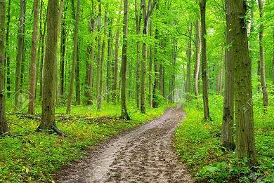 11525789-un-chemin-dans-la-forêt-verte.j