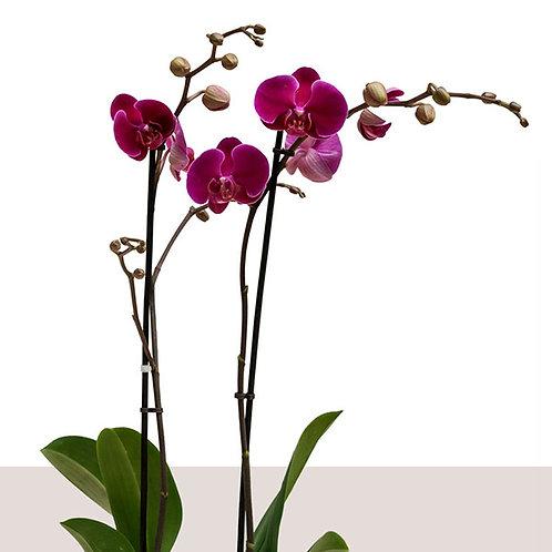 Livraison d'orchidée pourpre