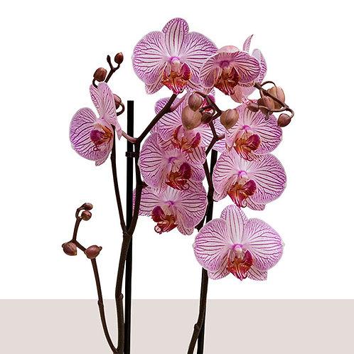Offrez une orchidée rose et faites la livrer en  2 heures à Paris